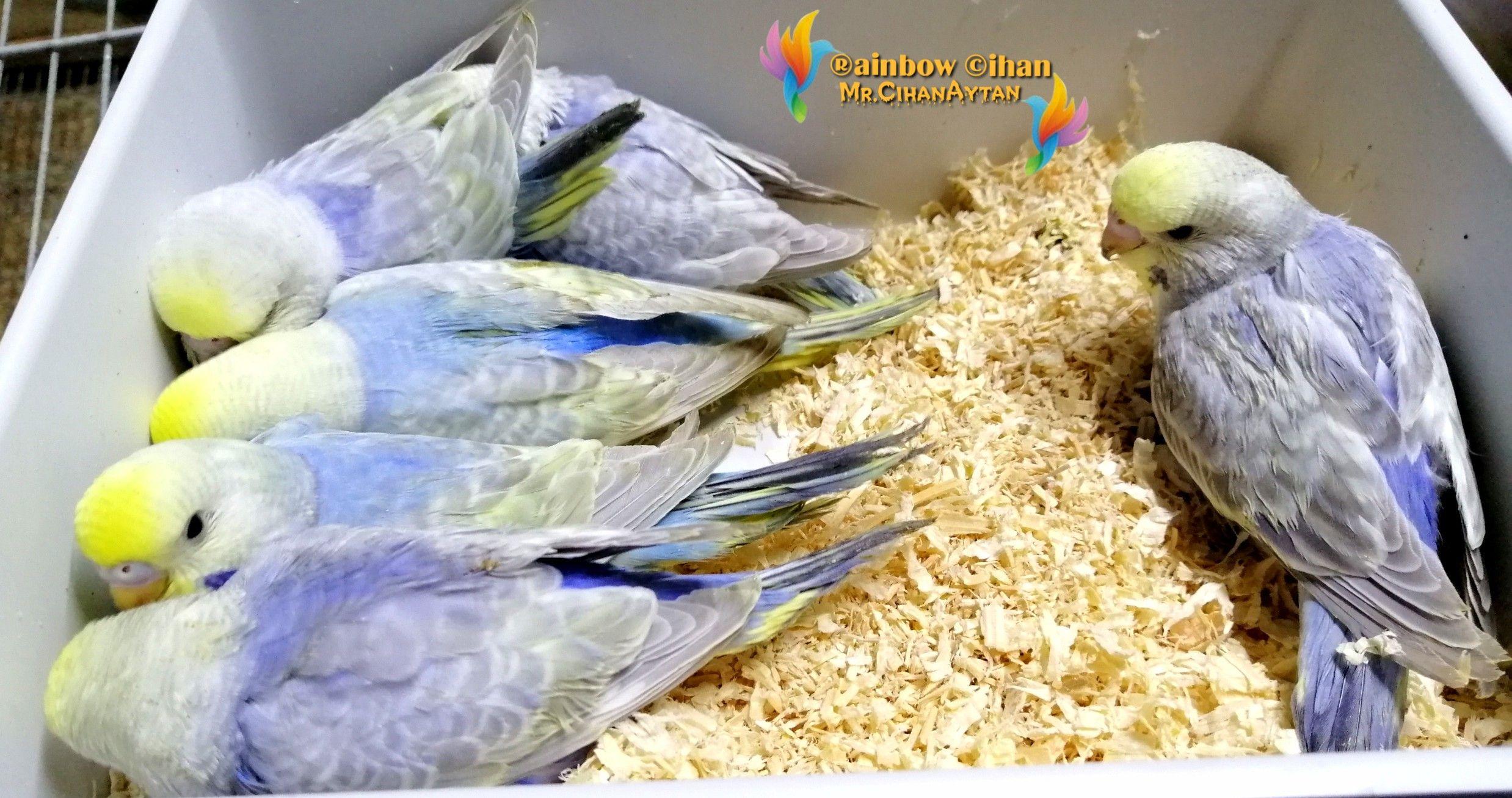 Rainbow muhabbet kuşu yav...