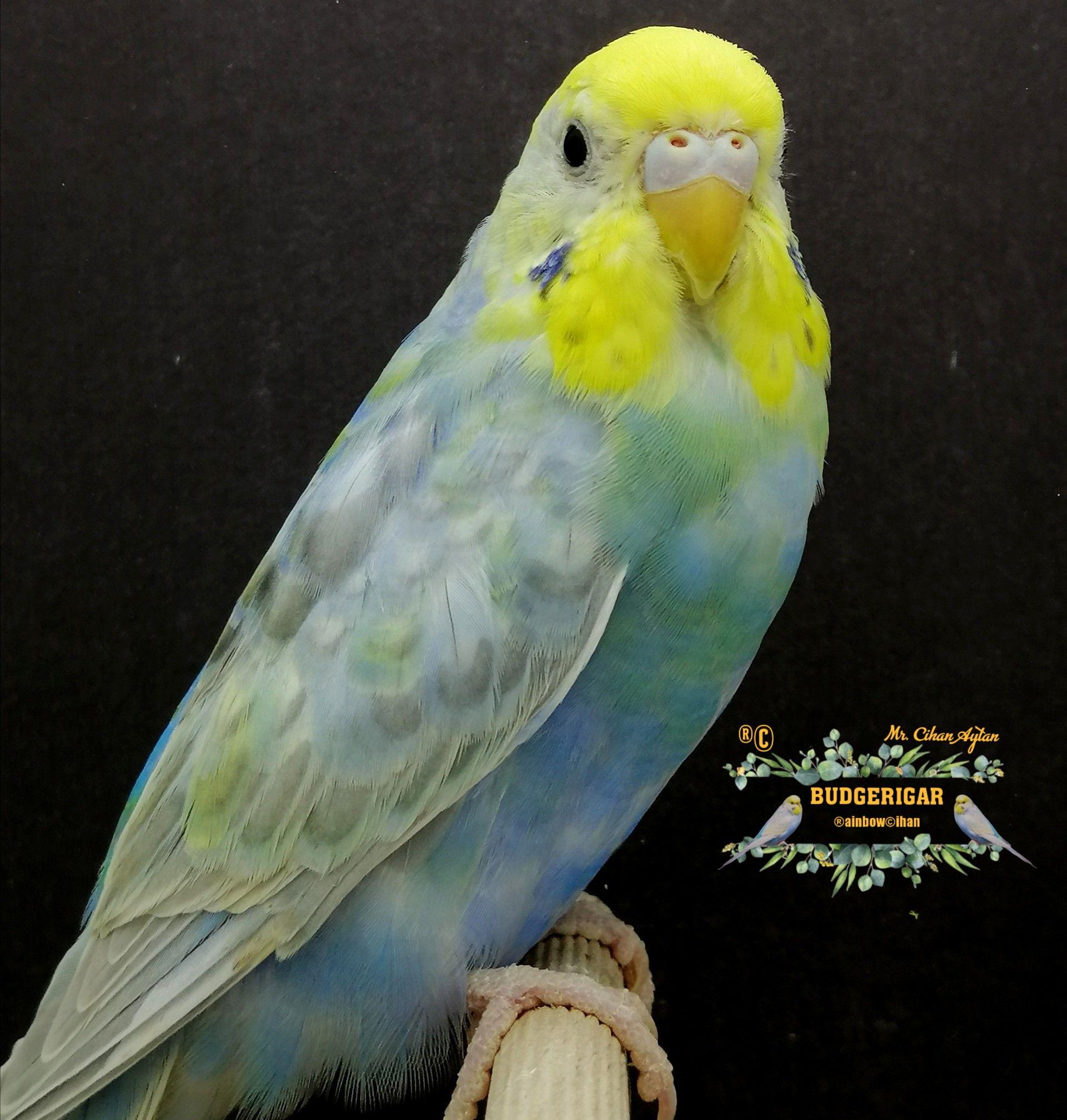 Rainbow muhabbet kuşu
